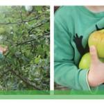 Appelmuffins en heel veel appelpret
