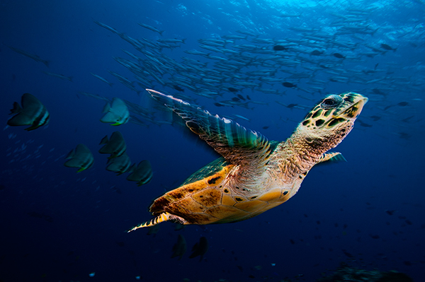 Hawksbill sea turtle soars through a sea filled with barracuda a